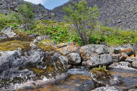 Rhodiola rosea (arctic root) growing on a rock in a mountain stream. Eastern Siberia Stockfoto