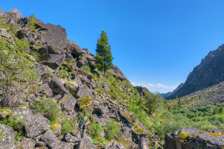 siberian pine: Tourist looking at the Siberian pine growing on the stone slope. Eastern Sayan