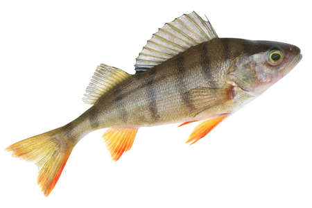 stated: Small lake form of European perch. Place fishing stated in geotagging file