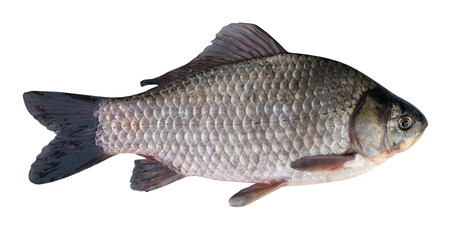 carassius gibelio: Silver Prussian carp (Carassius gibelio). Isolated on white background. Place catch in geotagging file. Fish weight - 1720 grams Stock Photo