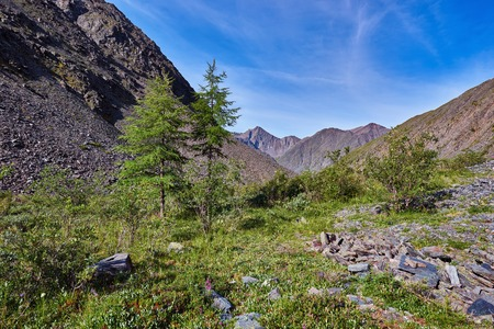 larix sibirica: Two young larch (Larix sibirica) mountains of Eastern Siberia. Sayan mountains.The Republic of Buryatia