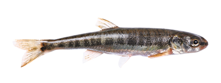 freshwater fish: Common minnow (Phoxinus phoxinus) on a white background. Small freshwater fish. Male. Length 5.5 cm