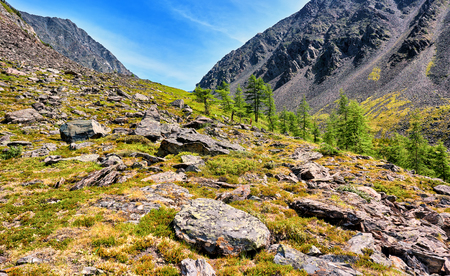 tundra: Several larches on slope of mountain tundra . Eastern Siberia. Asia