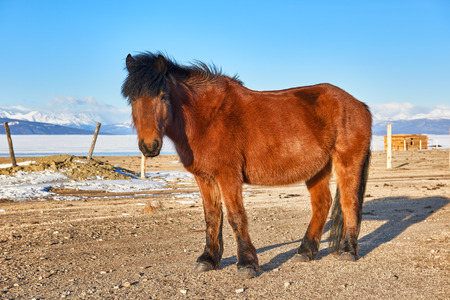stocky: Mongolian horse standing with head raised and looking at the picture. Taken at Lake Hovsgol . Mongolia
