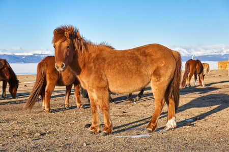 stocky: Elegant Mongolian horse in a pasture in March