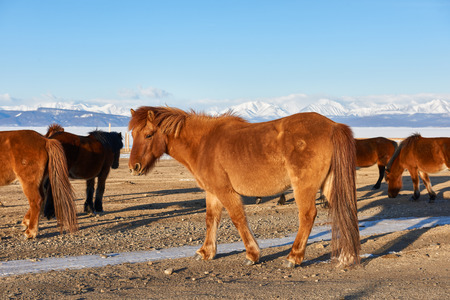 stocky: Mongolian horse with a long tail is not cropped
