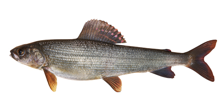 grayling: Kosogol grayling (Thymallus nigrescens). Rare species , endemic to Lake Hovsgol