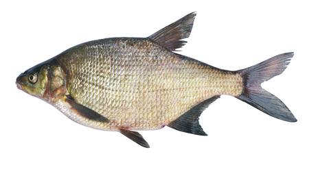 abramis: Bream ( Abramis brama ) on a white background . Adult female before spawning . Weight of fish - 2130 grams. Place catch - Oka River , Irkutsk region . Harvest date - 14062016 Stock Photo