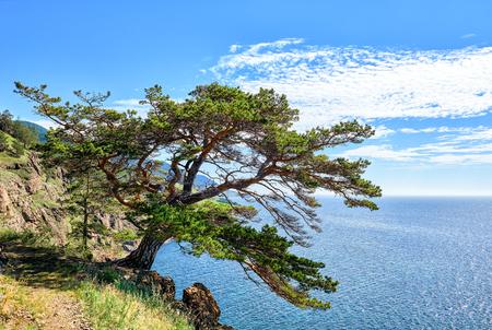 Baikal. Legendary pine on Great footpath along lake. It grows on very edge of high cliff. National Park. Irkutsk region. Russian