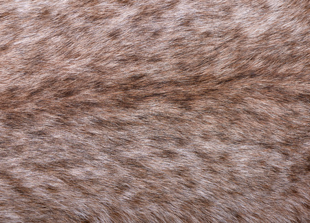 Fragment of fur of large Siberian lynx on back. Expensive skin of closeup