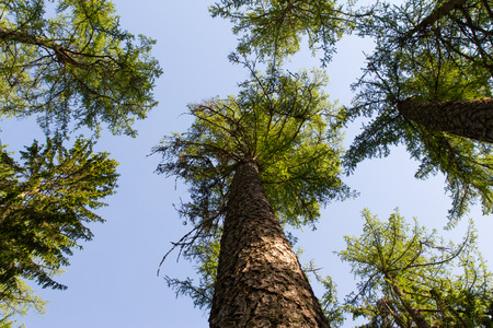 larch tree: Forest sky Stock Photo