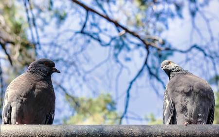 Two pigeon stare at each other on the sky background