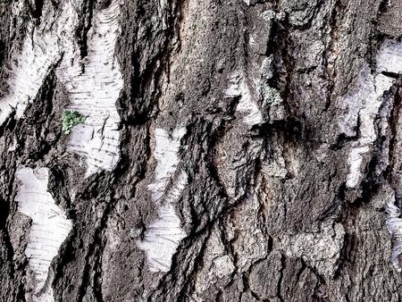Bark Birch close-up, texture of a birch tree 写真素材