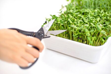micro grass close-up, healthy eating, pea sprouts and sunflower seeds, growing grass at home