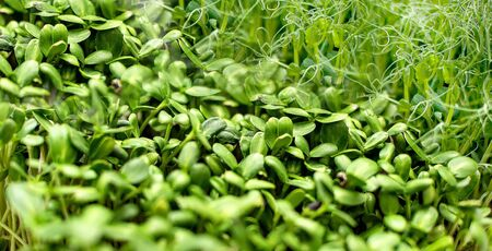 micro grass close-up, healthy eating, pea sprouts and sunflower seeds Archivio Fotografico