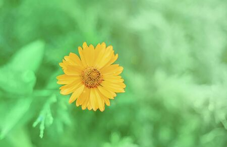 Calendula officinalis flower in sunlight on a green background in summer. Close-up of a marigold flower with space for text. Flower card.