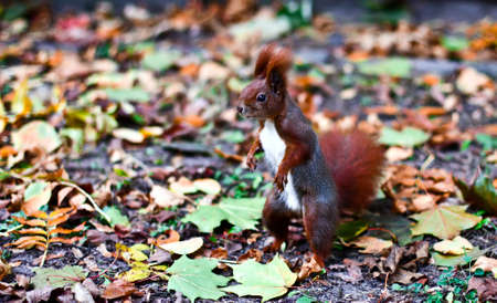 fluffy tuft: squirrel sitting on the road. Autumn time