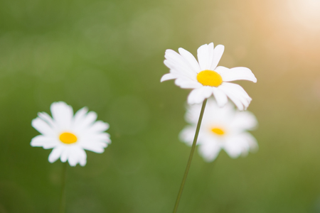 Spring marguerite daisy flowers field natural sunny background Stock Photo