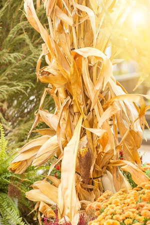 Drought yellowed corn in autumn, against a background of flowers