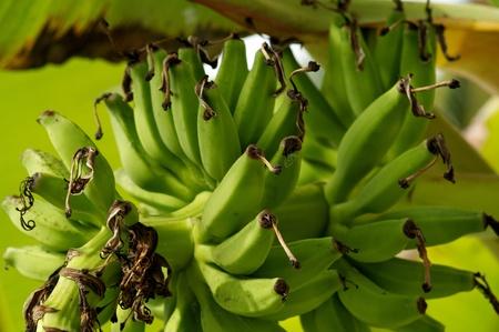 Green Bananas on Banana tree close up photo