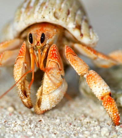 Beautiful hermit crab in his shell close up on sand background photo