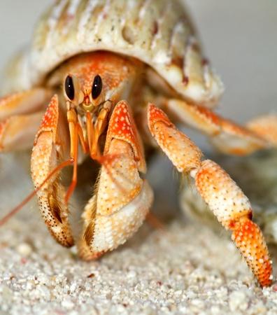 Mooie heremietkreeft in zijn schelp close up op zand achtergrond