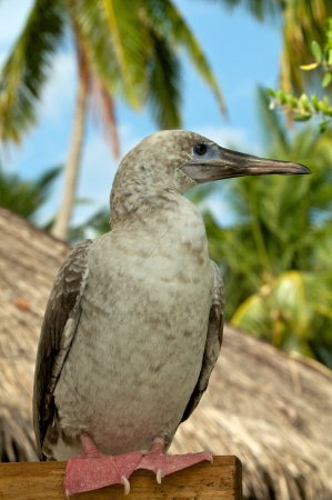 booby: Red-Footed Booby sitting on stack in natural environment