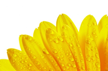 Yellow flower petals with water droplets isolated on white background Stock Photo - 13971229