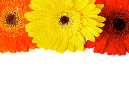 Red, Orange and Yellow gerbera flowers with water droplets closeup as frame photo