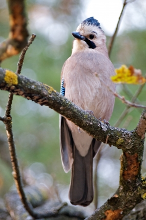 Jaybird on Tree Branch close up on nature background photo
