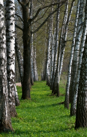 Birch Tree Alley in Summer Forest outdoors Stock Photo - 16251096