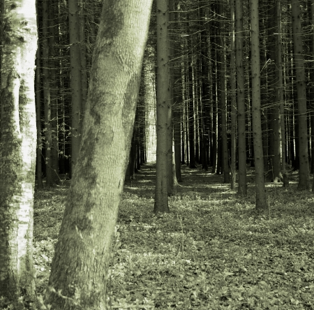 Mystery Spruce Forest Stock Photo - 16406112