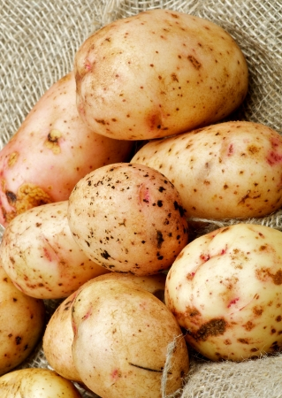 russet potato: Raw Potato Straight from Garden closeup on Sacking background