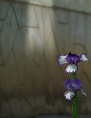 Two Purple and White Iris Blooms on Stone Wall background photo