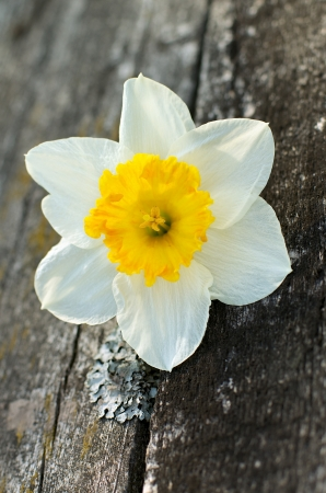 Beautiful Spring Yellow Daffodil closeup on Natural Weathered Wood background photo