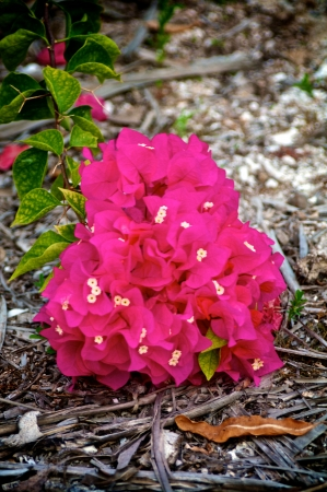 bunchy: Bunch of Beautiful Pink Bougainvillea on Gray Dry Palm Sawdust closeup