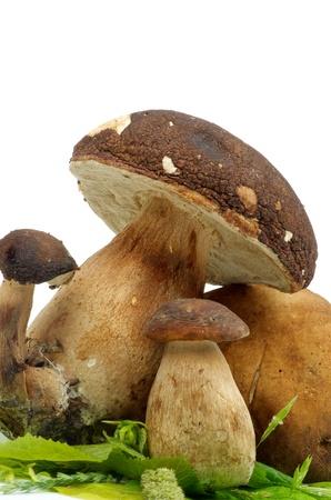 mushroom picking: Porcini Mushroom and Boletus on Green Leafs isolated on white background Stock Photo