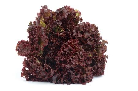 Perfekte Reife Lollo Rosso Salat isoliert auf weißem Hintergrund Lizenzfreie Bilder