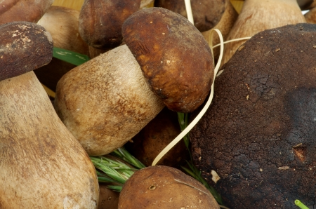 Background of Perfect Raw Porcini Mushrooms  closeup photo