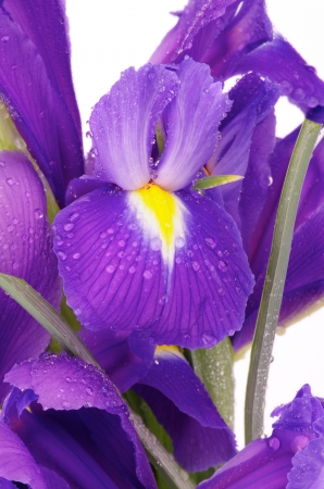Bunch of Beautiful Purple Dutch Iris with Water Droplets close upon white background photo