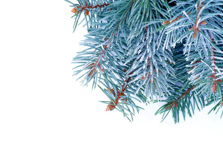 Corner Border of Blue Spruce Branches with Hoarfrost isolated on white background photo