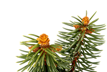 Two Green Spruce Branches with Little Fir Cones isolated on white background photo