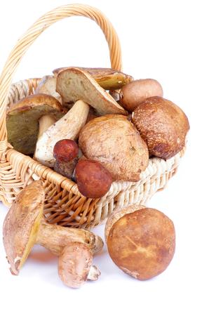peppery: Heap of Raw Ripe Porcini Mushrooms, Orange-Cap Boletus and Peppery Bolete in Wicker Basket isolated on white background