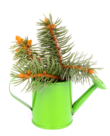 wateringcan: Bunch of Beautiful Spruce Branch in Green Watering-can isolated on white background Stock Photo