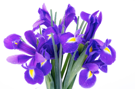 Bunch of Beautiful Purple Dutch Iris with Water Droplets isolated on white background photo