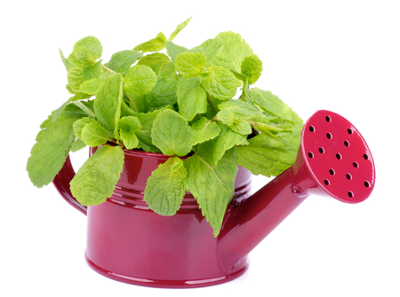 Bunch of Perfect Raw Fresh Green Mint Leafs in Purple Tin Bucket isolated on white photo
