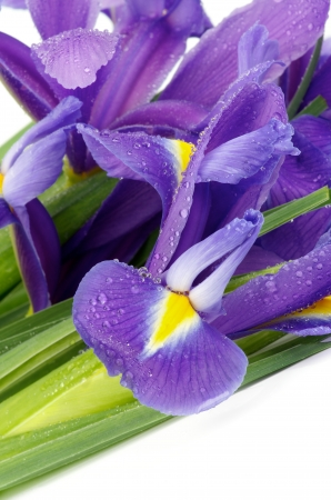 Beautiful Purple Dutch Irises with Water Droplets closeup on white background photo