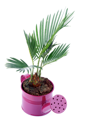 Little Houseplant Chrysalidocarpus Areca in Purple Watering Can isolated on white background photo