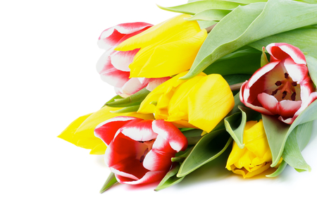 corner border: Corner Border of Yellow and Red-White Tulips closeup on white background