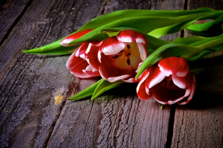 Bunch of Red-White Tulips closeup on Rustic Wooden background photo